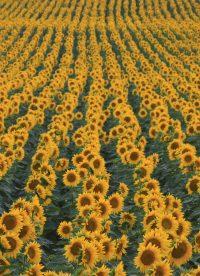 Pix4D esettanulmány: Napraforgó és kukorica megfigyelése a növekedési időszak alatt